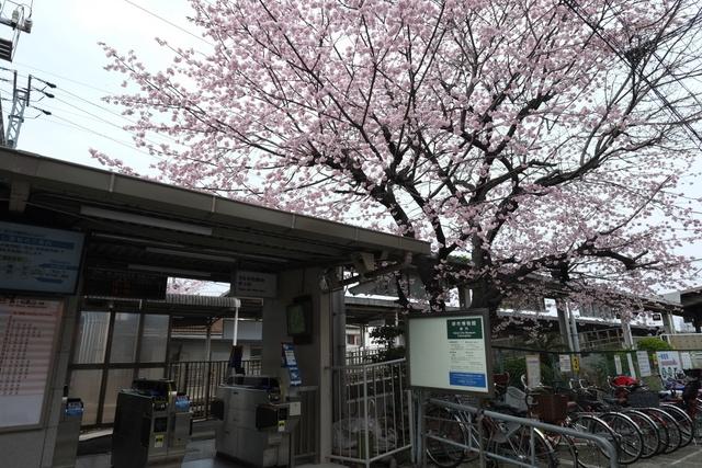 百舌鳥駅の桜