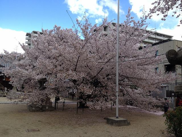 大宮の桜(ソメイヨシノ)