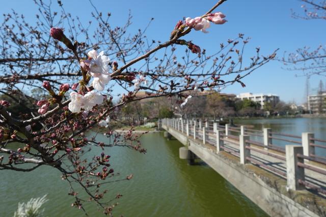 帝塚山万代池公園の桜