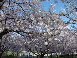 大川沿い、毛馬桜ノ宮公園の桜