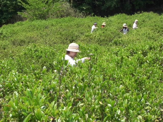 大阪近郊で茶摘み体験