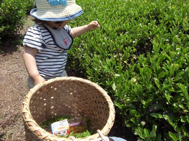 大阪近郊の茶摘み体験