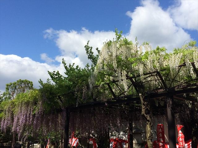 藤井寺市の紫雲山 葛井寺の藤まつり